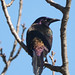 Common grackle looking over its shoulder