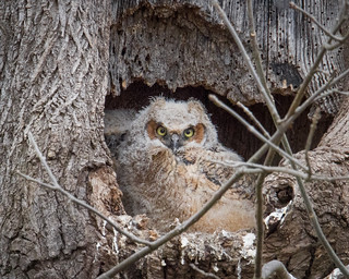 Great Horned Owlet - Looking at you