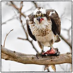 Osprey enjoying lunch (RKop) Tags: sandyhook newjersey raphaelkopanphotography d500 minolta600mmf4apog 14xtciii