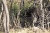 Bobcat (Critter Seeker) Tags: bobcat cat feline animal animals nature nationalpark newmexico carlsbadcaverns carlsbadcavernsnationalpark rattlesnakesprings southwest wildlife wild outdoors outside mammal