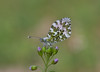 oranjetipje (Anthocharis cardamines) (peter nijland) Tags: twente dinkelland almelonordhornkanaal vlinders buterfly nature natuur netherlands tamron 90mm