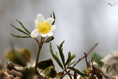 Im Unterholz (svensonkra26) Tags: buschwindröschen hahnenfus wildblume outdoor april frühjahr