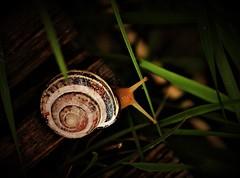 At A Snail's Pace (Insearchoflight) Tags: creaturesgreatandsmall snails stjohns newfoundlandandlabrador waynenorman insearchoflight naturelovingphotos naturallight outdoorstuff trailcreatures vividstriking
