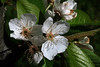 Cherries are coming (Alfredo Liverani) Tags: smileonsaturday sos smile saturday springflower20172018 canong5x canon g5x pointandshoot point shoot ps flickrdigital flickr digital camera cameras macro