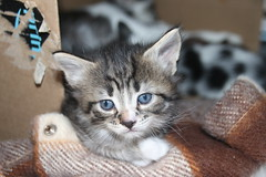 It's Kitten Season! Cats and Kittens at Crafty Cat Rescue (Ann Arbor, Michigan) - Wednesday April 11th, 2018 (cseeman) Tags: cats pets craftycatrescue annarbor michigan shelter adoption catshelter catrescue caring animals kittens craftycatkittens2018 craftycatphotos04112018