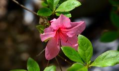Only One (BKHagar *Kim*) Tags: bkhagar flower bloom blossom azalea pink nature smileforsaturday limestonecounty al alabama springflower20172018