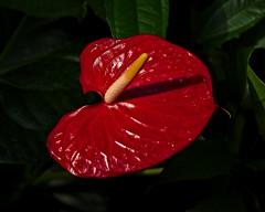 Tropical Sundial (MrBlueSky*) Tags: flower plant petal garden horticulture outdoor nature colour kewgardens royalbotanicgardens london pentax pentaxart pentaxlife pentaxk1 pentaxawards pentaxflickraward aficionados
