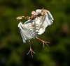 Cattle Egret with home material (tomsergio840) Tags: red cattle egrets birds nature animals wildlife photography