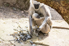Care (Photography by Martijn Aalbers) Tags: hanumanlangur hanumanlangoer monkey ape beast animal mammal aap beest dier life leven zoo dierentuin park parc nature natuur deapenheul apeldoorn gelderland guelders canoneos77d ef70200mmf4lisusm wwwgevoeligeplatennl
