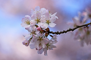 First Blossom ♥♥♥