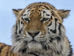 Amur Tiger. (Nigel Paine) Tags: tiger amurtiger bigcat bigcatsanctuary thebigcatsanctuary whf bcs canon60d ef300f28l 2xextender 600mm