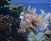 Wonders of Wildlfie National Museum and Aquarium (Adventurer Dustin Holmes) Tags: 2018 lionfish fish animal animals sealife tropical seacreatures dangerous oceanlife wondersofwildlife aquarium saltwaterfish saltwateraquarium underwater