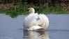 Macho Swan (♥ Annieta  pause) Tags: annieta april 2018 sony nederland netherlands helden camping limburg bos wood vogel bird oiseau zwaan swan allrightsreserved usingthispicturewithoutpermissionisillegal hx350 birdwatcher coth5