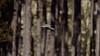 BiF (2/2) : a Pigeon (Franck Zumella) Tags: bird oiseau flight vol fly flying voler sat vite sky ciel wood tree forest foret bois arbre nature animal bif pigeon sony a7s a7 tamron 150600