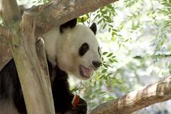 Happy Bai Yun (Rita Petita) Tags: baiyun sandiegozoo sandiego california china panda giantpanda
