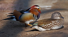 Mr & Mrs...I can't resist a Mandarin (Scuba`Steve`) Tags: e