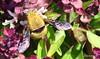 DSC_0410 (RachidH) Tags: bee bumblebee flowers blossoms blooms siwa oasis siwaoasis egypt rachidh nature carpenterbee carpenter xylocopa basilblossoms basil basilic fleursdebasilic