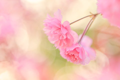 Cherry Blossom Dreaming! (paulapics2) Tags: pink soft pastel highkey flora plant nature garden dreamy canoneos5dmarkiii sigma105mmf28exdgoshsmmacro 7dwf