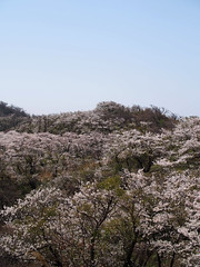 spread (murozo) Tags: hamadate park yurihonjo akita japan sky cherry blossom tree sakura spring 浜館公園 由利本荘 秋田 日本 空 桜 花 木 春
