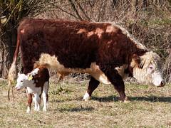 Mutter und Kind (hugoholunder) Tags: stierkalb natur