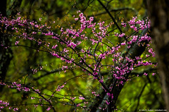 2018.04.24.9010 Redbud on a Rainy Day (Brunswick Forge) Tags: 2018 virginia grouped redbud nature outdoor outdoors rain botetourtcounty spring nikond500 tamron150600mm favorited