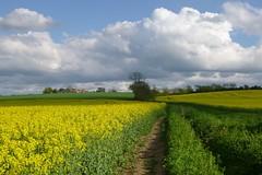 Oilseed (james_olympus) Tags: yellow flower field landscape cloud