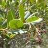 Arbutus unedo L. - Strawberry Tree (Peter M Greenwood) Tags: arbutusunedo arbutus unedo strawberry tree strawberrytree