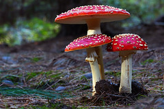 Fly agaric (Bernard Spragg) Tags: amanitamuscaria nature fungi mushroomstoadstoollumixwet wetknee forestfloor lumix red explorenaturethewildnature soe lumixfz1000