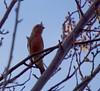 Plum Tree 20160214 (caligula1995) Tags: 2016 bird flowers housefinch plumtree sunset