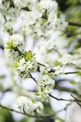 Green gage tree (peterggordon) Tags: lensbabysweet80 blur tree bokeh