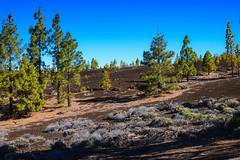 Volcanic desert (Rico the noob) Tags: dof rock d850 landscape desert nature 58mmf14 outdoor 58mm stones rocks trees tree travel sky teneriffa 2018 published tenerife
