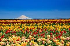 View of Mt Hood and Tulips (amarilloladi) Tags: pacificnorthwest 7dwf landscapes blueskies spring mountains woodenshoetulipfarm mthood oregon woodshoetulipfestival woodburn tulips