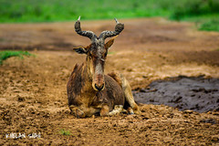 Mud bath (khelan919) Tags: nairobi nairobinationalpark kenya africa muddy wildlifephotography wildlife africansky animals animalplanet