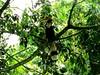 Great Hornbill in a Tree (lesterpearce) Tags: india kaziranga assam bucerosbicornis