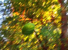 Fall (Debmalya Mukherjee) Tags: fall leaf foliage trees mumbai anushaktinagar summer debmalyamukherjee canon550d 1018mm