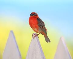 Fodi Rojo / Red Fody / Foudia madagascariensis (vic_206) Tags: bird seychelles fodirojo redfody foudiamadagascariensis
