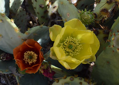 Prickly Pair (oybay©) Tags: pricklypear pricklypearcactus yellow suncitywest arizona unique unusual nightbloom night cactusflower cactus flower flora fiori blumen argentinegiant macro upclose color colors white whiteflower light greatshot coolshot cool indoor food