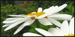 IMG_8884 Splitting the Atom 6-18-12 (arkansas traveler) Tags: ladybugs bichos bugs insects beetles macro macrolicious nature naturewatcher natureartphotography bokeh flowers daisies