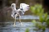 Black-crowned Night-Heron (klamax) Tags: storch nachtreiher reiher 04vögel flugaufnahmen