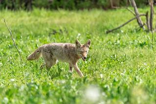 Coyote #100