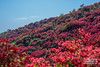 DSC_8628-Edit (SDX_yyy) Tags: ツツジ つつじ azalea flower 花 奈良 nara japan beautiful plateau 高原