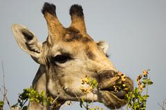 IMG_2118 (tregnier) Tags: namibia roadtrip africa travel desert animals sossusvlei leopard cheetah lion solitaire trip