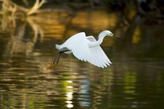 Silver flight    (Egret) (mara.arantes) Tags: nature naturaleza natural wildlife lake sunset bird egret fly animals