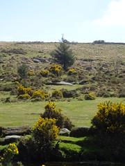 DSC07426 (guyfogwill) Tags: belever dartmoor dartmoornationalpark devon guyfogwill unitedkingdom dartmoorforest gbr
