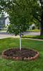 Prunus armeniaca Chinese Apricot dwarf - freshly planted (Puddin Tain) Tags: virginiabeach prunusarmeniaca chineseapricotdwarf tree apricot sapling