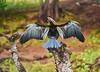 drying phase (flowerikka) Tags: bird botswana choberiverfront chobenationalpark flügel gefieder green kormoran nature okavangoriver plumage pose ufer tree