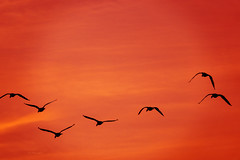No one is free  ... (mariola aga) Tags: evening sunset sky orange red birds flock flight silhouette black simplicity art coth alittlebeauty coth5