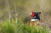 Coq au soleil (Eric Penet) Tags: oiseau somme baie bird animal sauvage faune nature printemps picardie wildlife wild france avril faisan colchide pheasant coq mâle