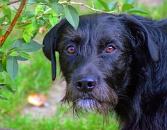 Mouse (dan487175) Tags: dog portrait blackfur browneyes closeup lookingatyou leaves plant green lurcher wolfhound cross