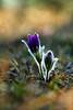 Pasque Flower (moments in nature by Antje Schultner) Tags: küchenschelle wildblume wild flower spring frühjahr pasque